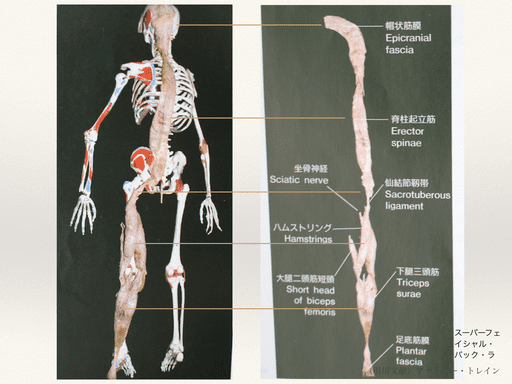 筋膜(後部)の写真
