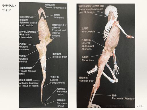 筋膜(ラテラルライン)